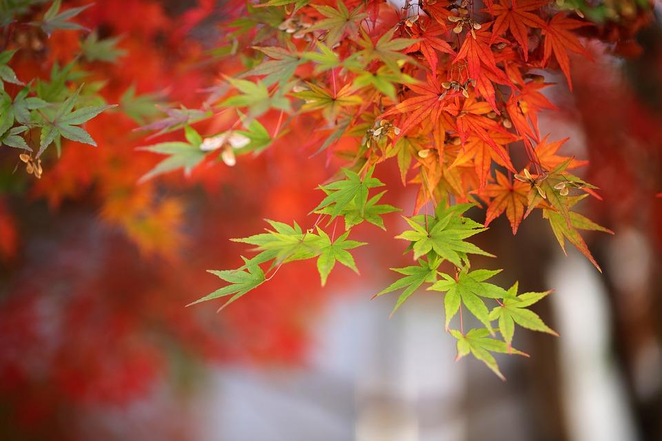 Les feuilles d'un érable du Japon deviennent orange à l'automne.