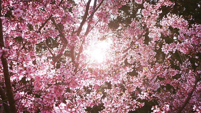 L'énergie pétillante du printemps dans les fleurs de cerisiers.